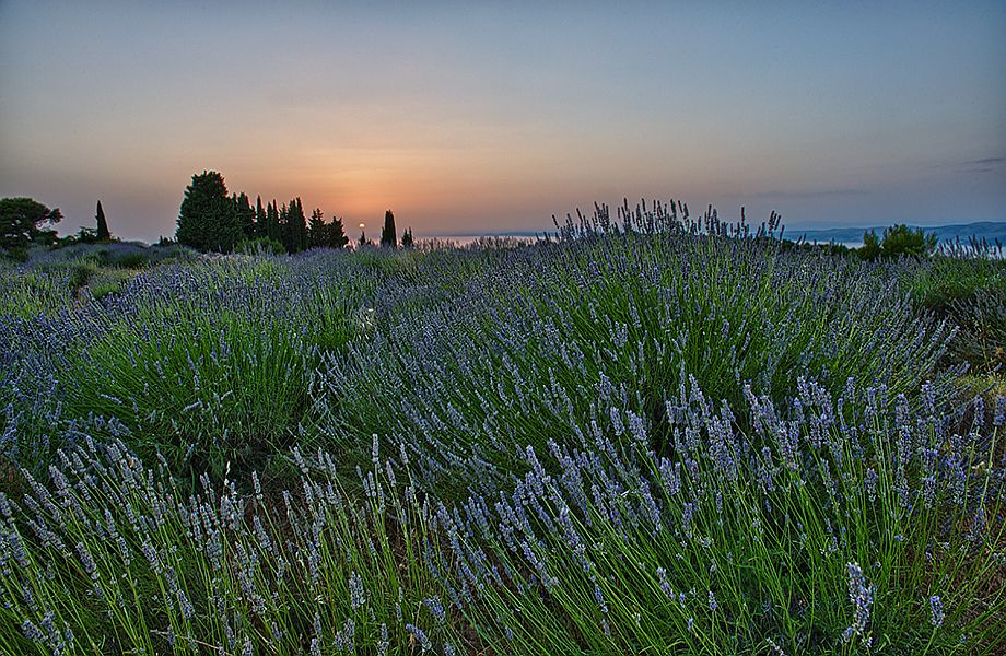 Lavander fields on Island Hvar, Croatia with Maestral Travel Agency