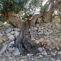 Olive Groves of Island Brac with Maestral Travel Agency